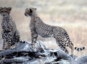 Cheetah, Leopard and/or gepard - what is the difference