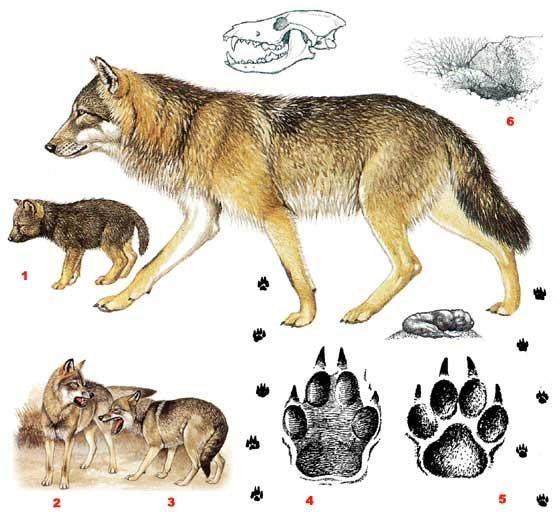 Как сделать лапу волка