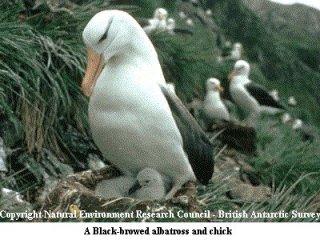 sjøfugl med stort nebb