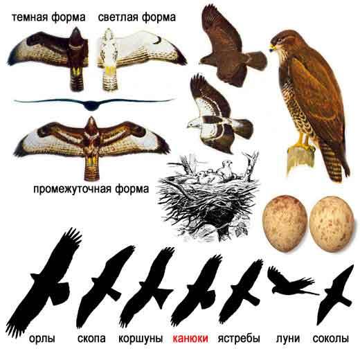 Внешний вид.  Самая обычная из крупных хищных птиц средней полосы России.