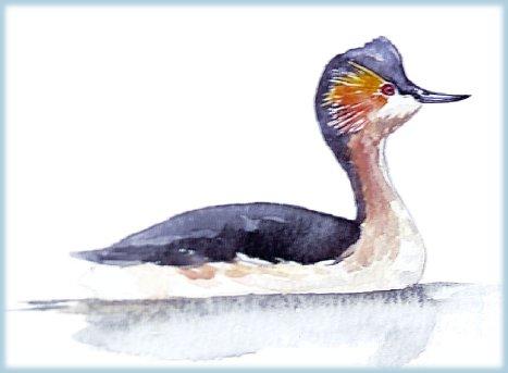 http://www.vulkaner.no/n/birds/ducks/pics/andinus.jpg