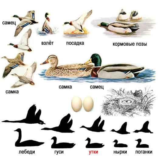 Mallard Duck, Anas platyrfaynchos