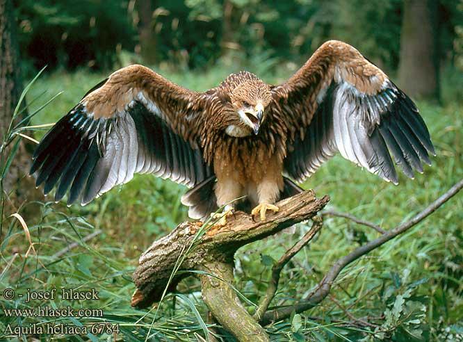 Орел и фото орлов.