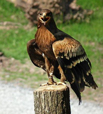 Wikipedia Steppe Eagle Steppe Eagle Aquila Rapax