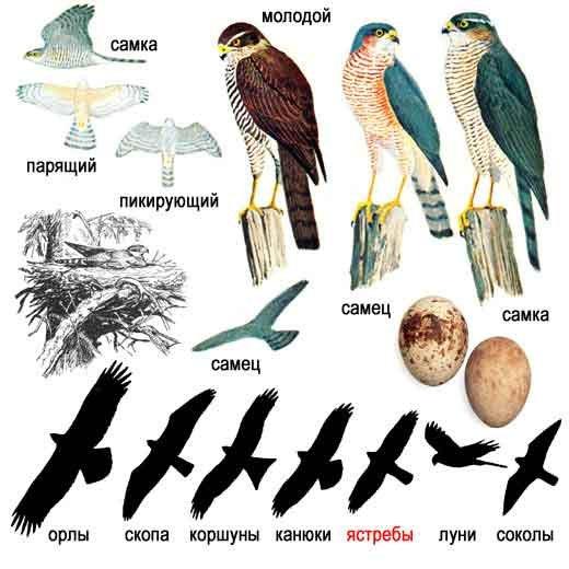 Картинки птица сапсан 7
