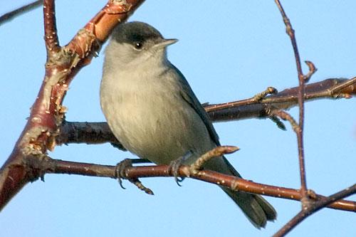 تصاویر زیبا و با کیفیت از پرنده سسک