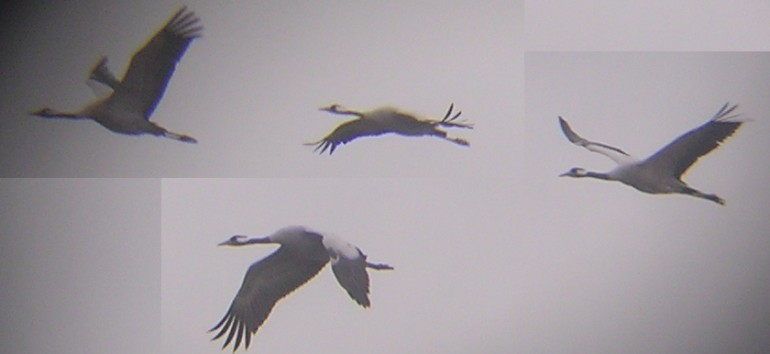 Spring Is In Air Cranes Are Returning >> Cranes in the Air at Lake Hornborga - Cranes in the Air - 2005