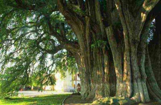 Arbol del tule oaxaca mexico a world famous tree